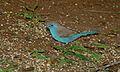 Blue Waxbill (Uraeginthus angolensis) (6001697949).jpg