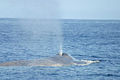 Blue Whale 002 noaa blow.jpg