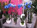 Blue phalaenopsis.jpg