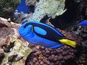 Blue tang (Paracanthurus hepatus) 01