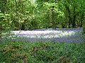 Bluebells on the Ashridge Estate, near Berkhamsted - geograph.org.uk - 1754129.jpg