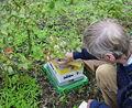 BlueberryPollinationByBumblebees.jpg