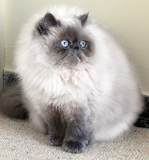 Bluna, a blue-point Himalayan cat