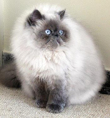 bcd13193753b Γάτα Ιμαλαΐων - Βικιπαίδεια