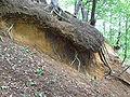 Bodenerosion, Hang oberflächlich von Flachwurzler gehalten - DSCF0389.JPG
