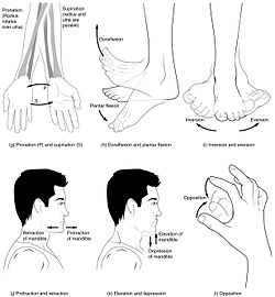 1000+ images about Anatomy on Pinterest  Labeled Neck Movements