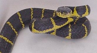 Boiga - Boiga dendrophila, mangrove snake