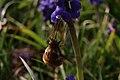 Bombyliidae 5371.jpg
