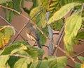 Booted Warbler (Hippolais caligata) in Kawal WS, AP W IMG 1962.jpg