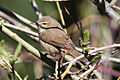 Booted Warbler (Iduna caligata) (8079433776).jpg