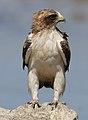 Booted eagle, Hieraaetus pennatus, at Kgalagadi Transfrontier Pa (32334023348).jpg