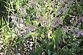 Borago officinalis (fleurs)-2858.jpg