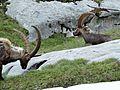 Bouquetins près du col de la Vanoise, 2014 (77).jpg