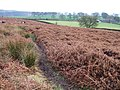 Bracken on access land near Chatsworth - geograph.org.uk - 650664.jpg