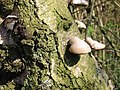 Bracket fungus on a tree, Bure Marshes nature reserve - geograph.org.uk - 402618.jpg