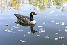 Branta canadensis - Canada goose - Kharkiv Gorky Park - 04.jpg