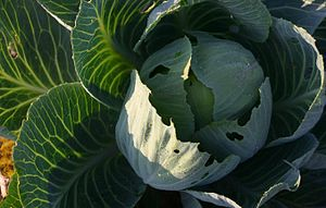 Brassica oleracea var. alba: Total.
