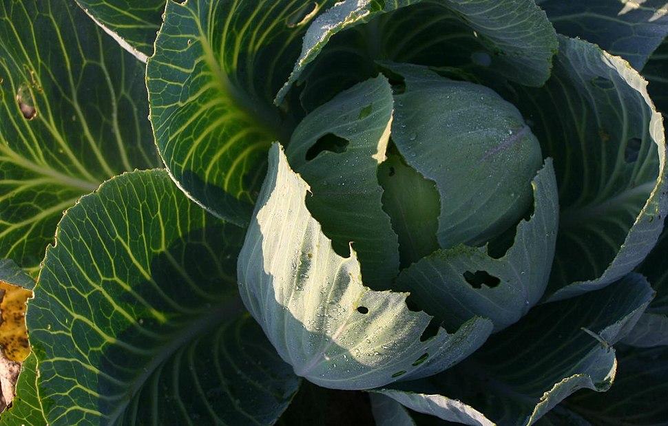 Hvidkål (Brassica oleracea var. capitata)