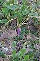 Brassica rapa var. rapa (08).jpg