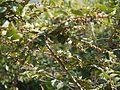 Bridelia stipularis (6673304185).jpg