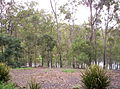 Brisbane-Forest-Park-wallabies-2.JPG