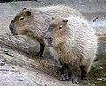 Bristol.zoo.capybara.arp.jpg
