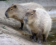 The capybara, the largest living rodent, can weigh up to 65 kg.