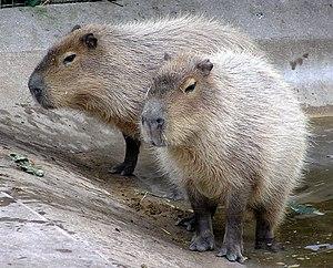 Capybara Hydrochoerus hydrochaeris at the Zona...