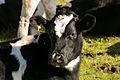 Brize Norton cow (22961064240).jpg