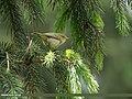 Brooks's Leaf Warbler (Phylloscopus subviridis) (41370069800).jpg