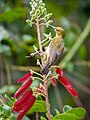 Brown-throated Sunbird (13893524547).jpg