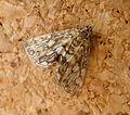 Brown China-mark. Elophila nymphaeata - Flickr - gailhampshire.jpg