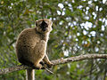 Brown Lemur, Mantadia, Madagascar.jpg