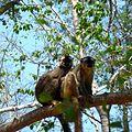 Brown Lemur Kirindy Forest Madagascar - panoramio.jpg