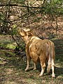 Browsing cow, Dilton, New Forest - geograph.org.uk - 427201.jpg