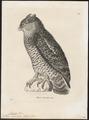 Bubo orientalis - 1700-1880 - Print - Iconographia Zoologica - Special Collections University of Amsterdam - UBA01 IZ18400095.tif