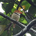 Bucco capensis - Collared Puffbird.JPG