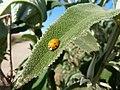 Buddleja salviifolia, blaar, Louwsburg.jpg