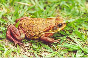 Description de l'image Bufo rubescens02.jpg.