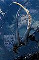 Bull Kelp (Nereocystis luetkeana) (3108603766).jpg