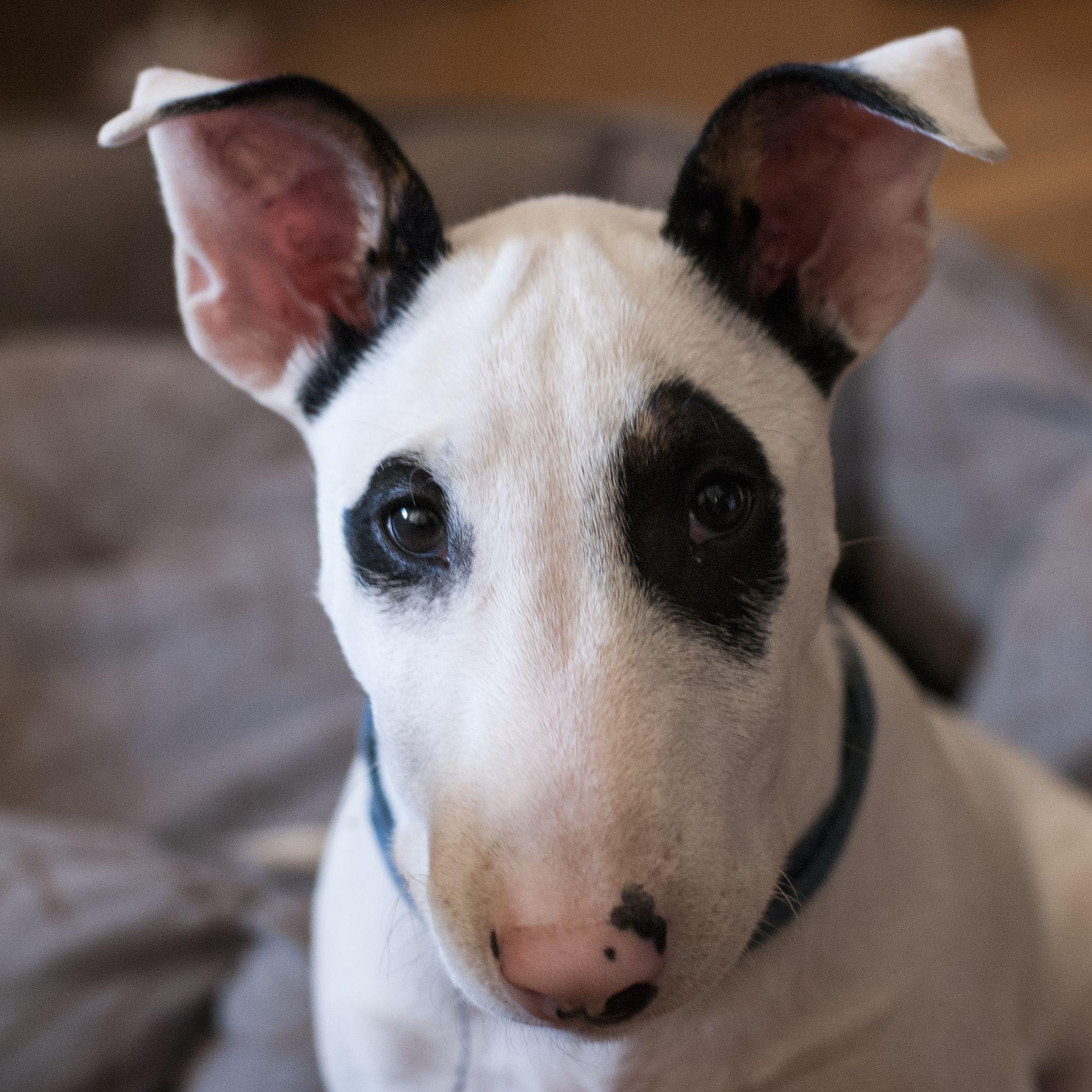 Bull Terrier - razas de perros