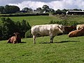 Bull near Norley - geograph.org.uk - 488518.jpg