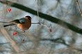 Bullfinch(js) Lodz(Poland)06.jpg