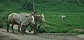 Bulls with Plough and Cow - Bhedia - NH 2B - Bardhaman 2014-06-28 5165.JPG