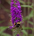 Bumble bee on loosestrife in Aspen (91353).jpg
