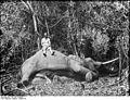 Bundesarchiv Bild 105-DOA0058, Deutsch-Ostafrika, Erlegter Elefant.jpg