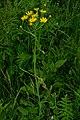 Buphthalmum salicifolium PID728-2.jpg