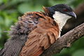 Burchell's Coucal, Centropus burchelli- a study at Kruger National Park, South Africa (13829330534).jpg