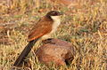 Burchell's Coucal Centropus burchelli.jpg