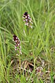 Burnt-tip Orchid - Neotinea ustulata - panoramio (2).jpg